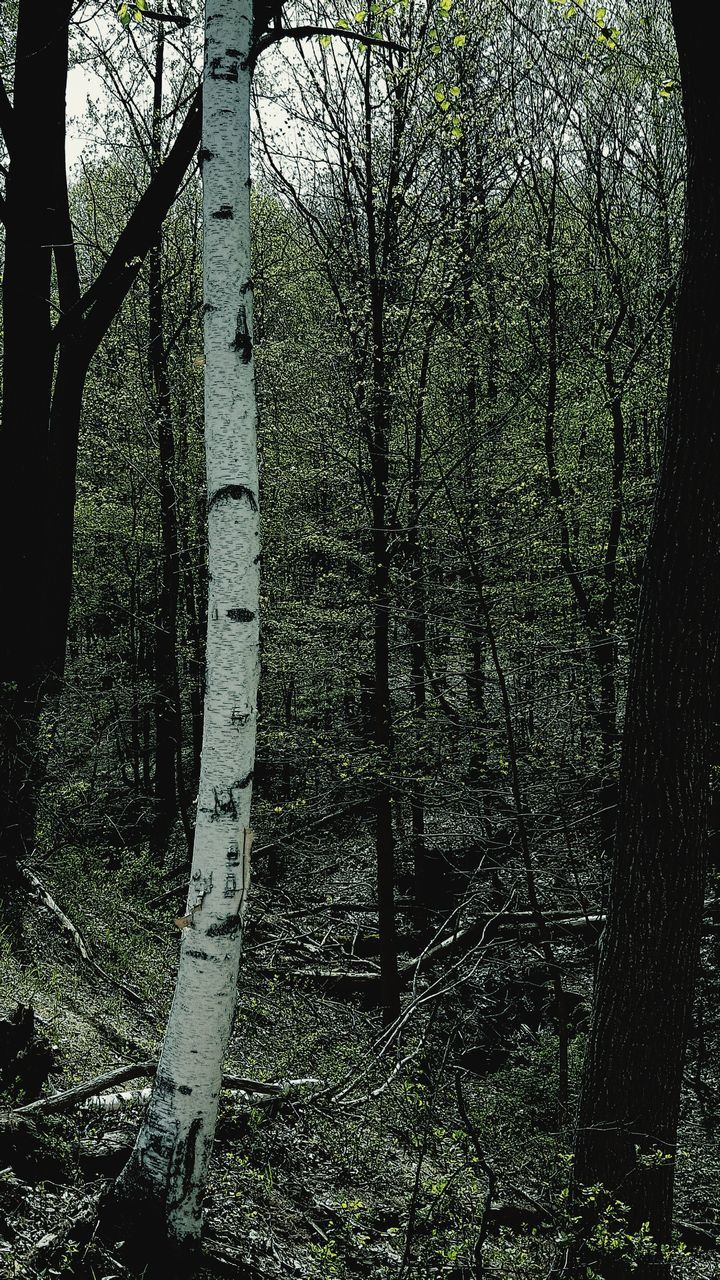 forest, tree, tree trunk, branch, no people, day, tranquility, nature, outdoors, bare tree, beauty in nature