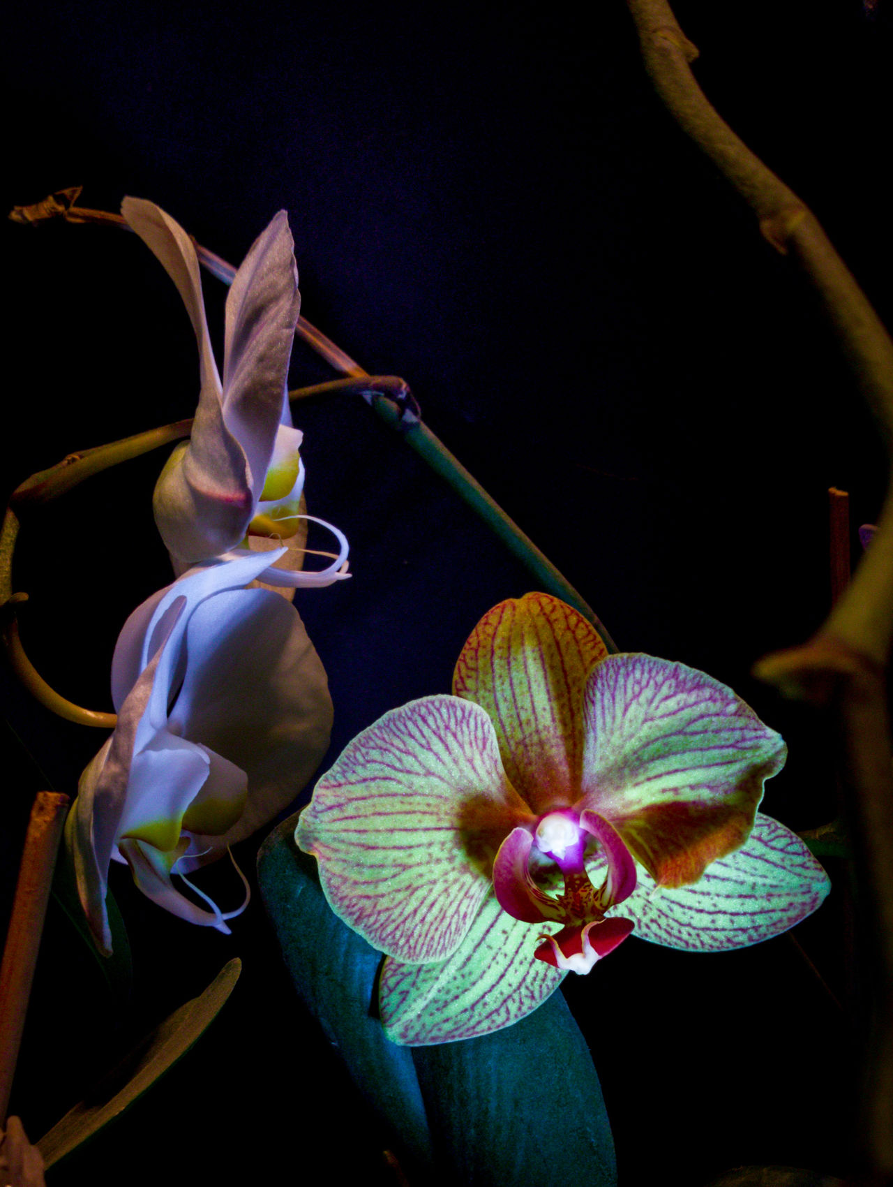 Black Background No People Beauty In Nature Flower Nature Fragility Flower Head Close-up Outdoors Day Orchids