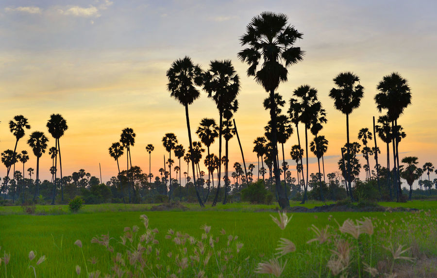 View silhouette of plam trees with colourful sunset and twilight sky,Thailand Beauty In Nature Day Grass Growth Landscape Nature No People Outdoors Plam Scenics Silhouette Sky Social Issues Sunset Tourism Tranquil Scene Travel Destinations Tree Tree Area