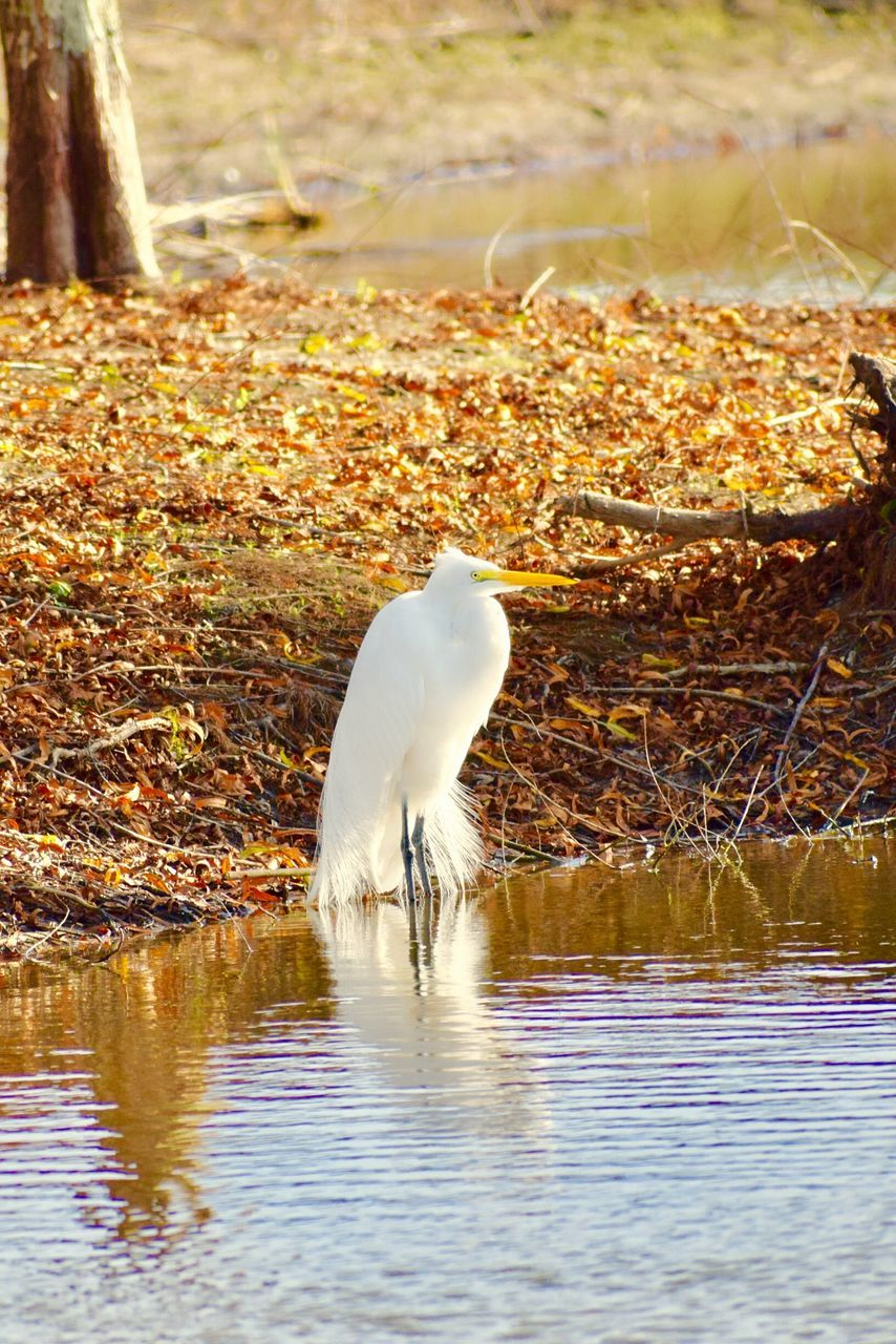 one animal, animal themes, animals in the wild, bird, white color, water, lake, day, animal wildlife, nature, outdoors, waterfront, no people, great egret, foraging, beauty in nature