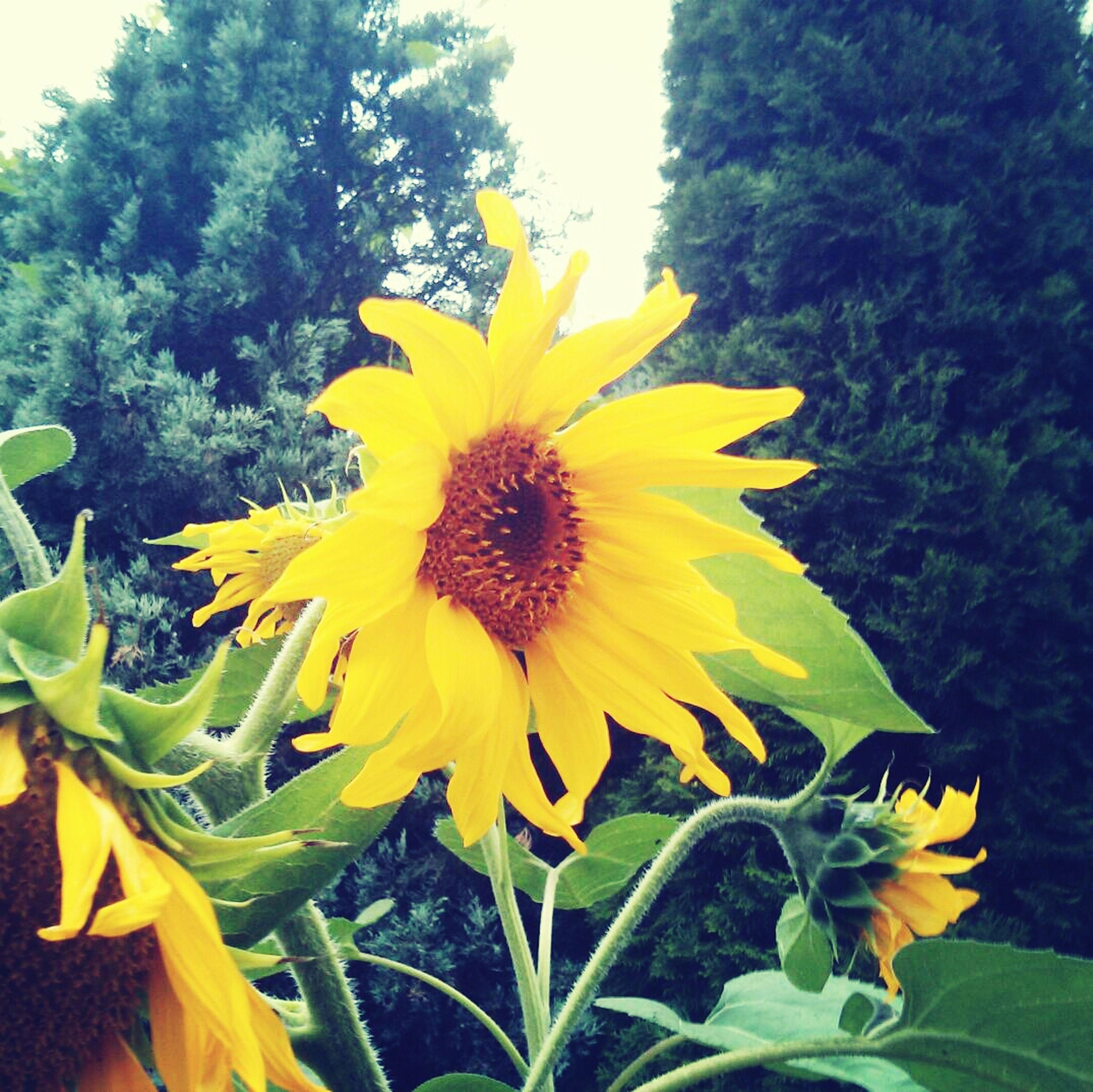 Sunflower Flower Yellow Nature