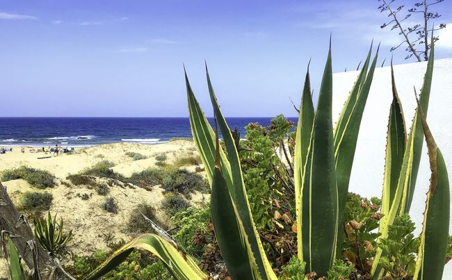 Kaktus an der Algarve bei Aljezur, Portugal Algarve Aljezur Beach Beauty In Nature Blue Cactus Calm Coastline Green Color Growing Growth Horizon Over Water Nature Ocean Outdoors Plant Portugal Remote Sand Sea Seascape Shore Sky Water