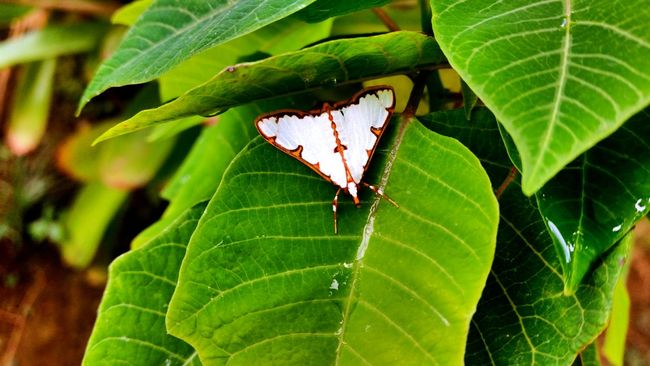 Girlysaturninophotography Butterfly Butterflies Butterfly Collection Butterfly Garden EyeemPhilippines EyeEm Nature Lover