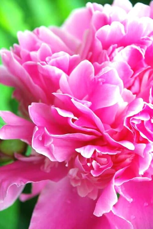 Flower Pink Color Beauty In Nature Nature Flower Head Flowers Flowers, Nature And Beauty Pink Peony Peon Peony Flower PeonyBloom Pink Flower 🌸 Pink Flowers Pink Blossoms Blossom Garden