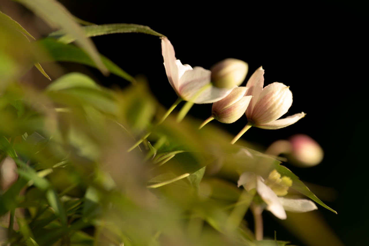 Clematis Blossoms Beauty In Nature Clematis Flower Close-up Day Evening Light Flower Flower Head Fragility Freshness Growth Leaf Nature No People Outdoors Petal Plant Selective Focus