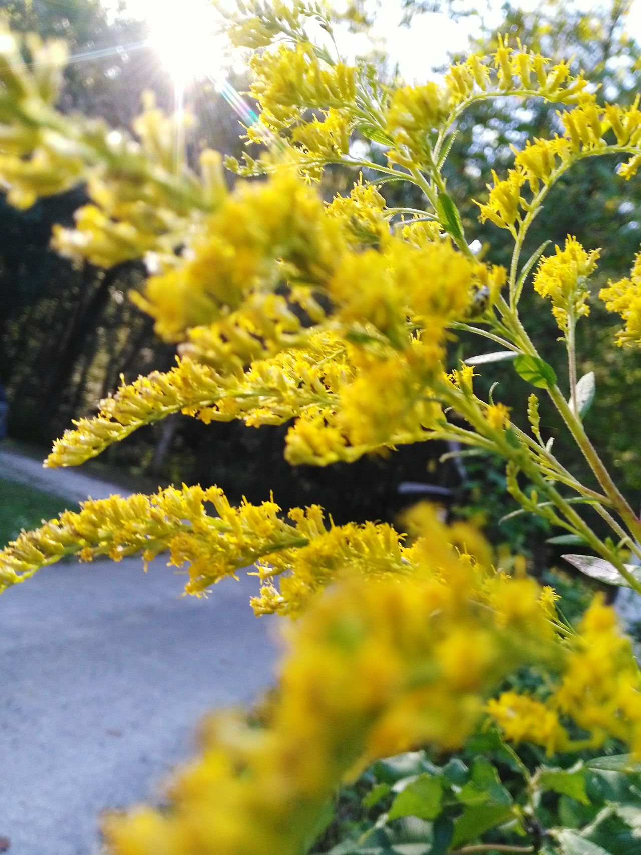 Kentucky's state flower, the Goldenrod Growth Yellow Growth Flower Freshness Fragility Beauty In Nature Close-up Selective Focus Nature Plant Petal Day Blossom In Bloom Botany Green Color Focus On Foreground Outdoors Vibrant Color Springtime Yellow Color Maximum Closeness