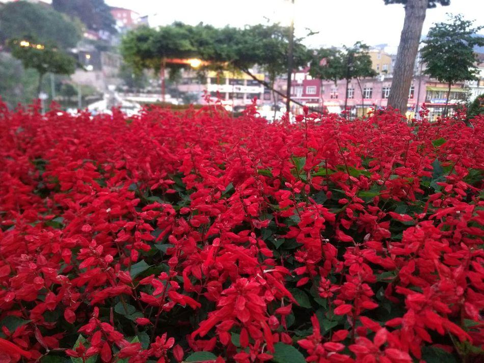 Kırmizi çiçek Eşsiz Güzellik Red Giresungünleri