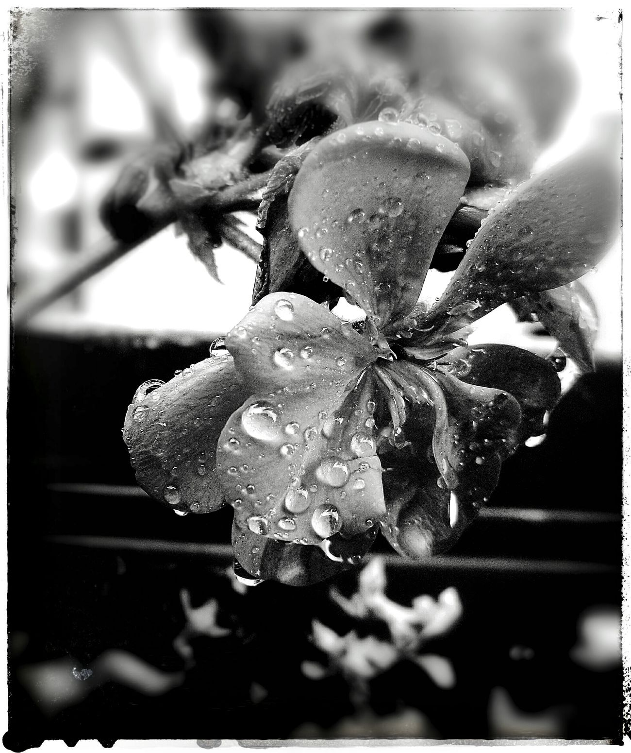 Blackandwhite Flower Rain Water HuaweiP9 Storm Taking Photos Passion Beautiful Wait Time