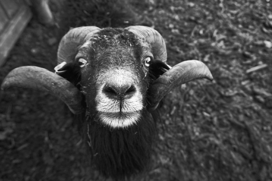 Shep Looking At Camera Animal Themes Nature Black & White Animal Wildlife No People Outdoors Animals In The Wild Portrait Eyes Are Soul Reflection One Animal Day Eye Em Nature Lover Eyeswideopen Beauty In Nature Animalphotography Cold Day Cute Pets Beautiful Animals  The Great Outdoors - 2016 EyeEm Awards TheWeekOnEyeEM