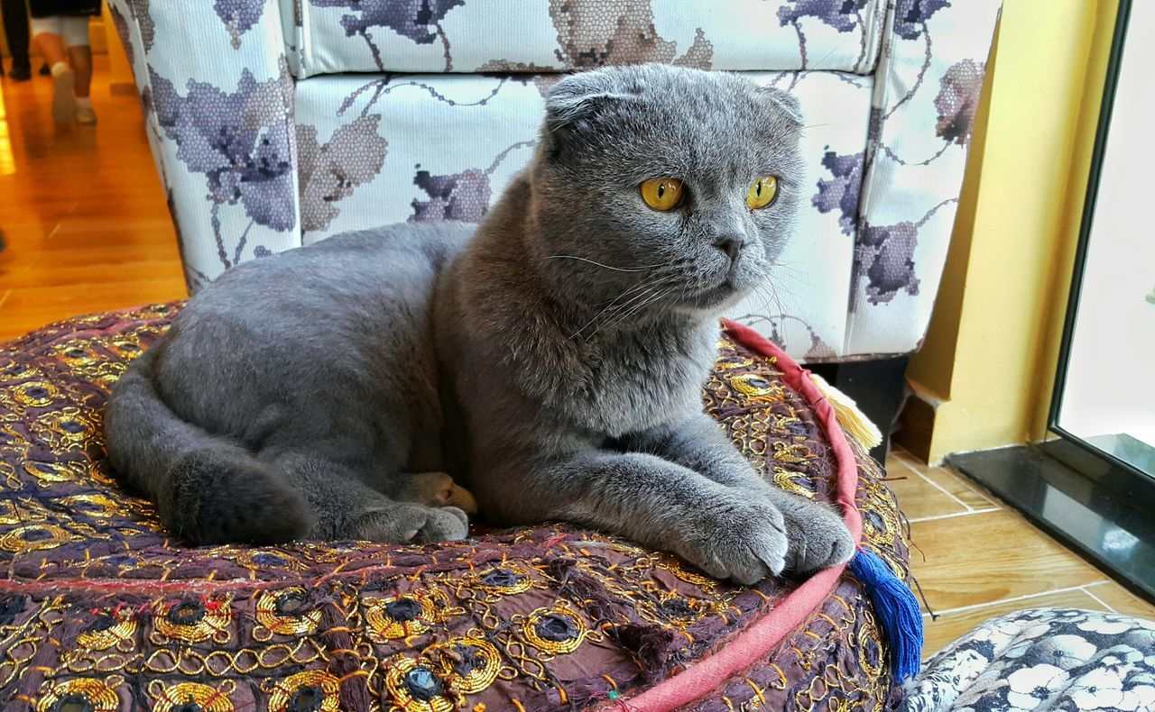 Beautiful stock photos of katzen, Animal Themes, Chartreux Cat, Domestic Animals, Domestic Cat