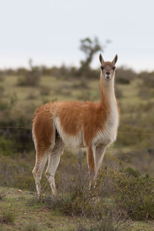 Beauty In Nature Field Guanaco Guanacos Lama Lama Guanicoe Mammal Nature No People Outdoors Patagonia Patagonia Argentina