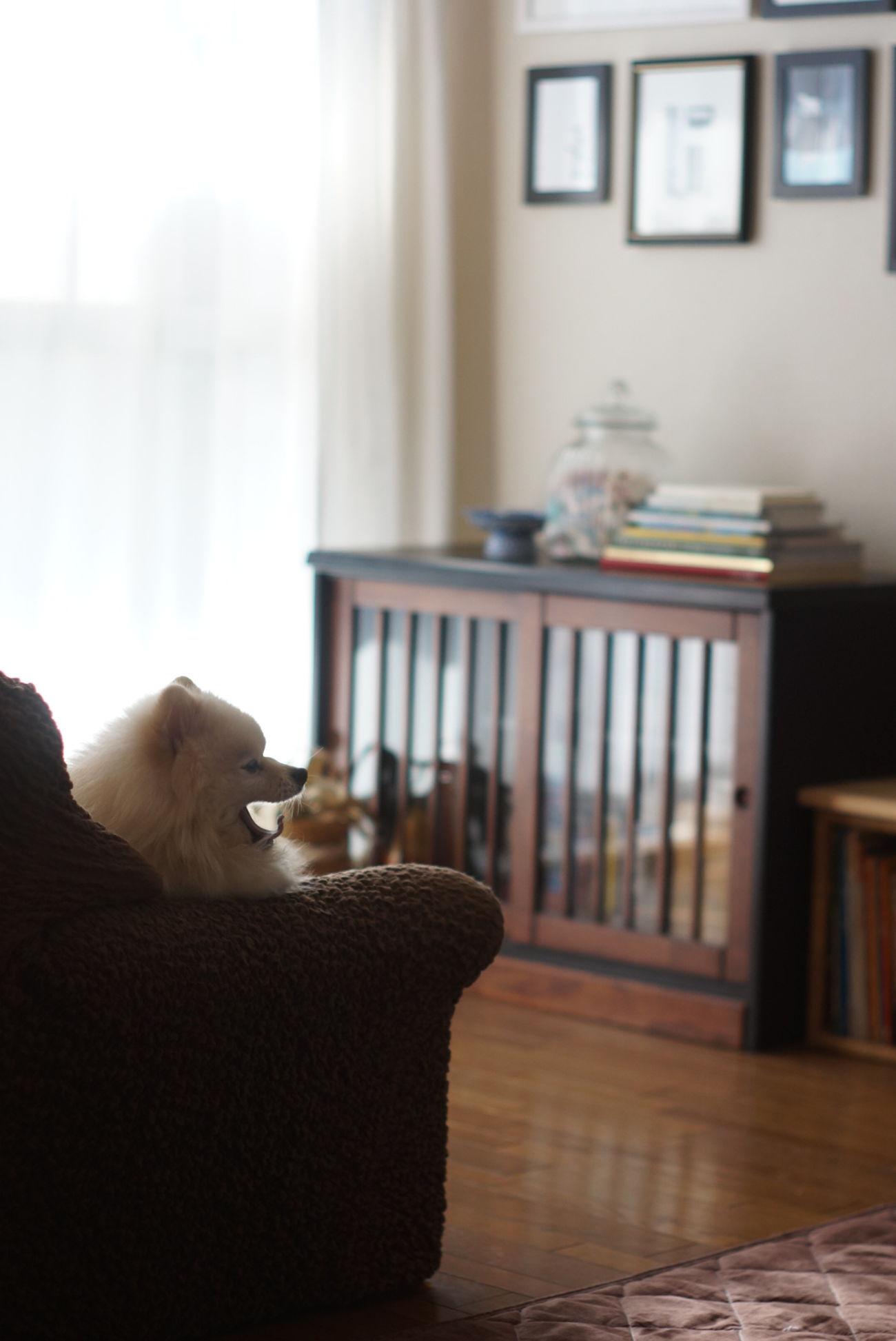 Living Room Indoors  Sofa Day Nofilter Sony Nex-5t Minolta58mmf14 オールドレンズ Oldlens Mylovelydog EyeEm Dogs Pomeranian ポメラニアン Dog Relaxing Relaxation
