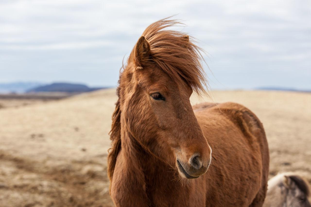 Beautiful stock photos of horse, Animal Hair, Animal Themes, Brown, Close-Up