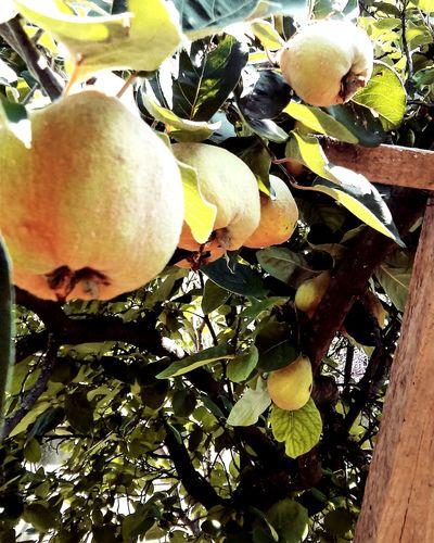 Quince apple Quincetree Quince Birsalmafa Nature Gardenlife Green GreenZone Summer2015 Fruitporn Fruits