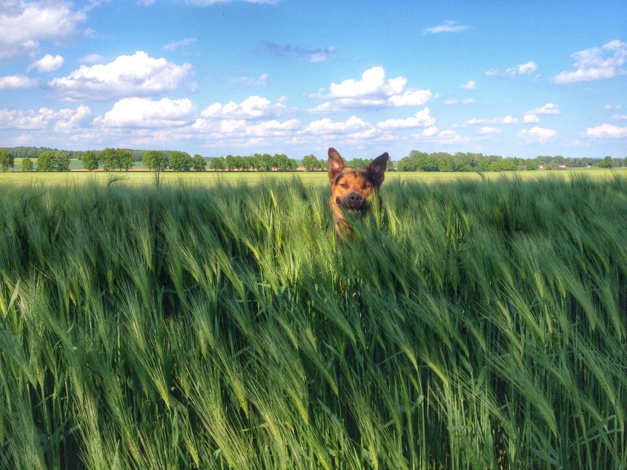 Beautiful stock photos of farm, Agriculture, Animal Themes, Barley, Beauty In Nature