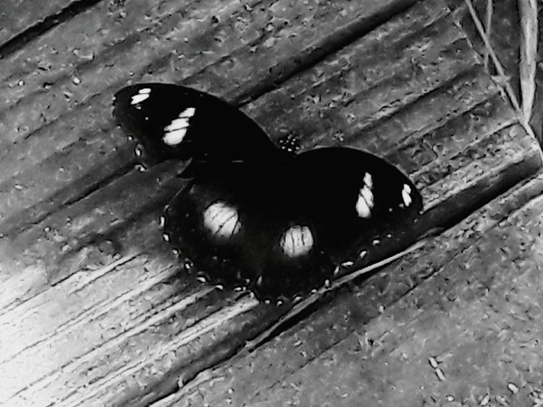 Albuquerque Albuquerque Botanical Garden Nature Nature Photography Black And White Butterfly Wood Butterfly On Wood A Bird's Eye View