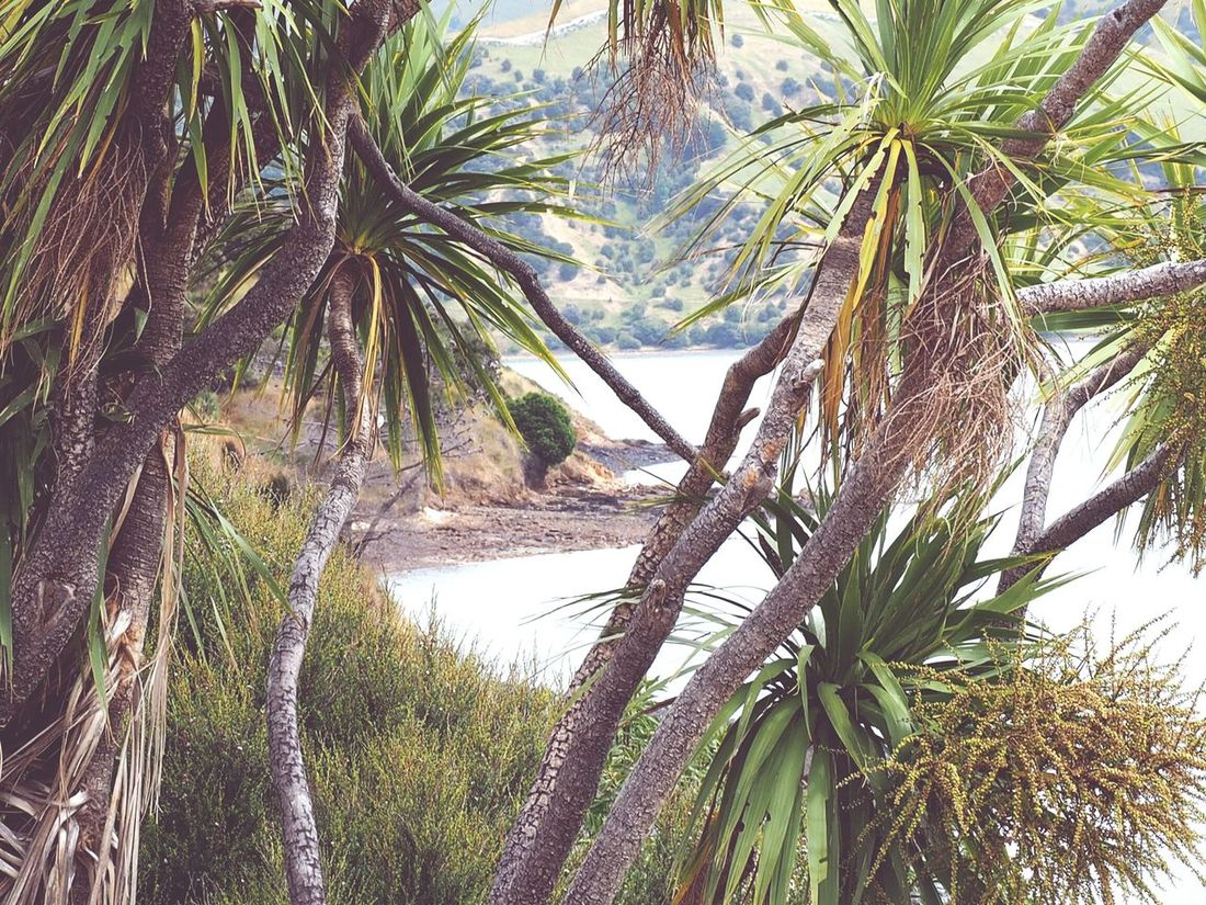 Tree Nature Growth Water Beauty In Nature Tranquility Sky Scenics Outdoors No People Tranquil Scene Green Color Vacations Branch Close-up New Zeland  South Island New Zealand Nature New Zealand LandscapePalm Tree New Zealand Beauty Hiking Costal Trail Coastal Views Cabbage Tree