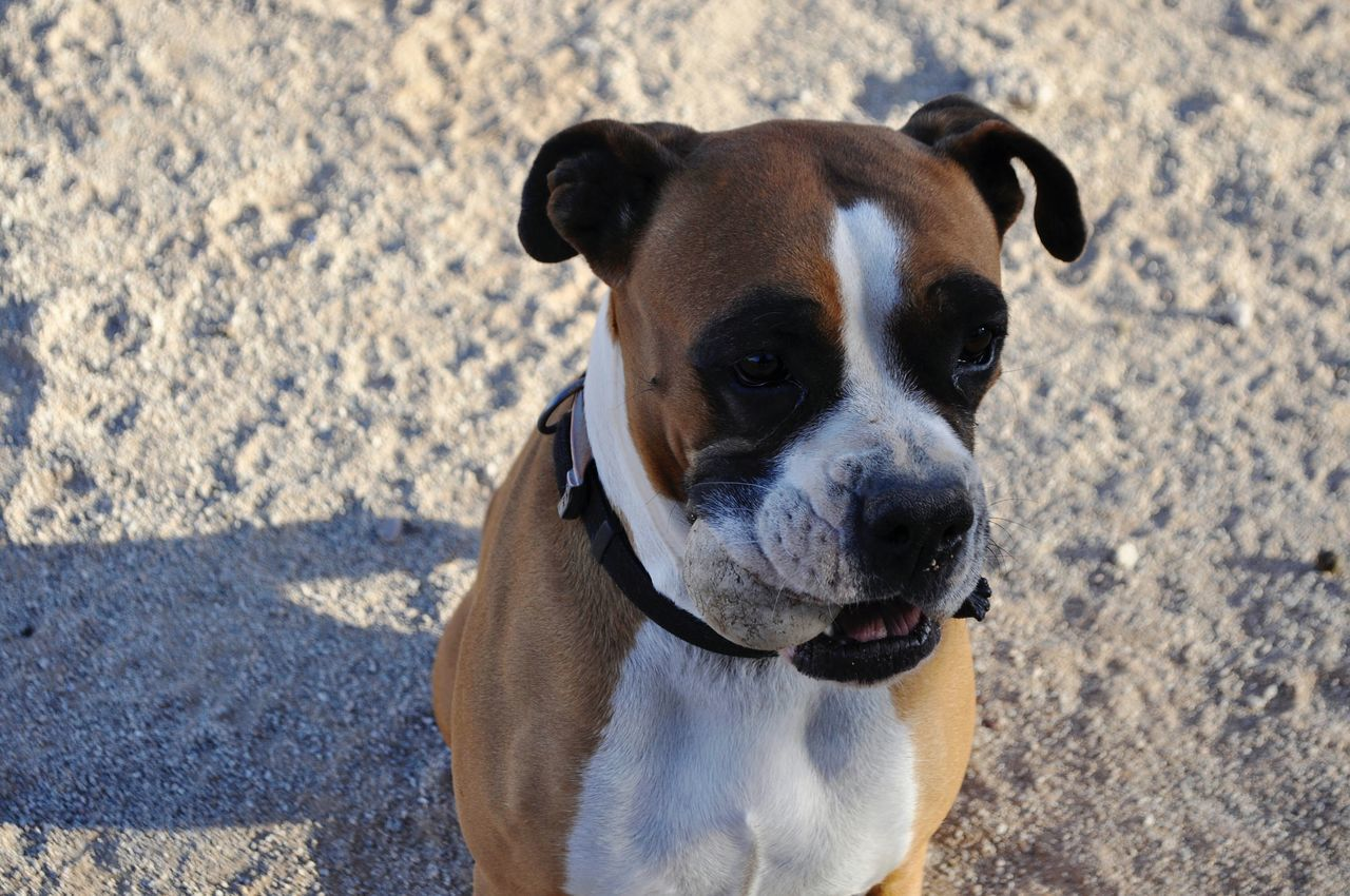 Beautiful stock photos of puppy, Animal Themes, Ball, Beach, Boxer - Dog