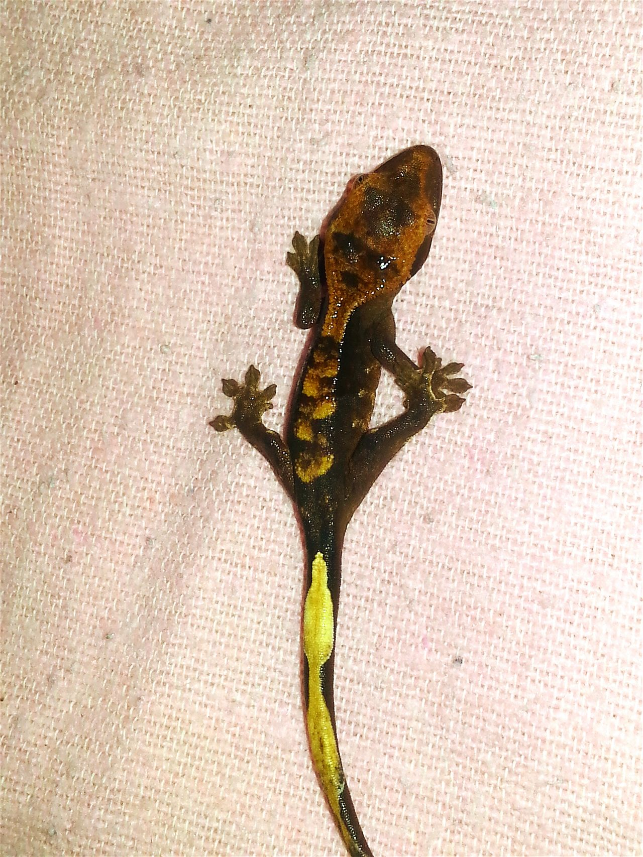 The second crested gecko baby of today hatched ca.6:30 pm. Day Close-up Evening Time Surprise! Jurassic World Baby Photography Exotic Creatures New Life & New Hope Babies♥ New Life.... Baby Animal Jurassic World Of Dino's God's Beauty Exotic Animals Wonderful Nature Special_shots New Life Starts Now ♥ Real Life Born To Be Beautiful Crested Especially New Life New Born Hatched Egg Animal Themes Special Shot