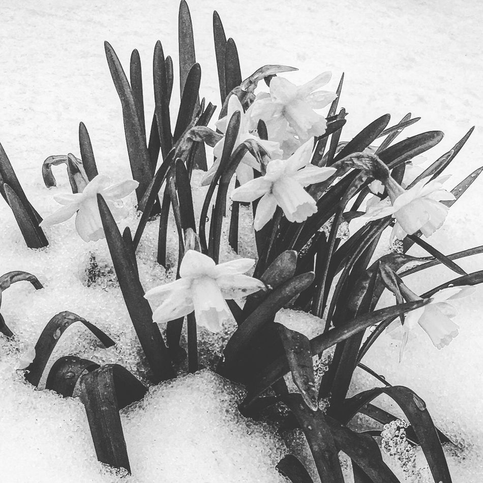 Frozen Flowers Blackandwhite Bw_collection Eye4photography  Beauty In Nature Snow ❄