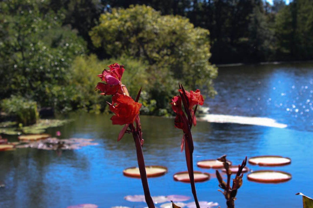 water, nature, lake, beauty in nature, flower, day, no people, growth, tranquility, outdoors, plant, focus on foreground, red, tree, scenics, close-up