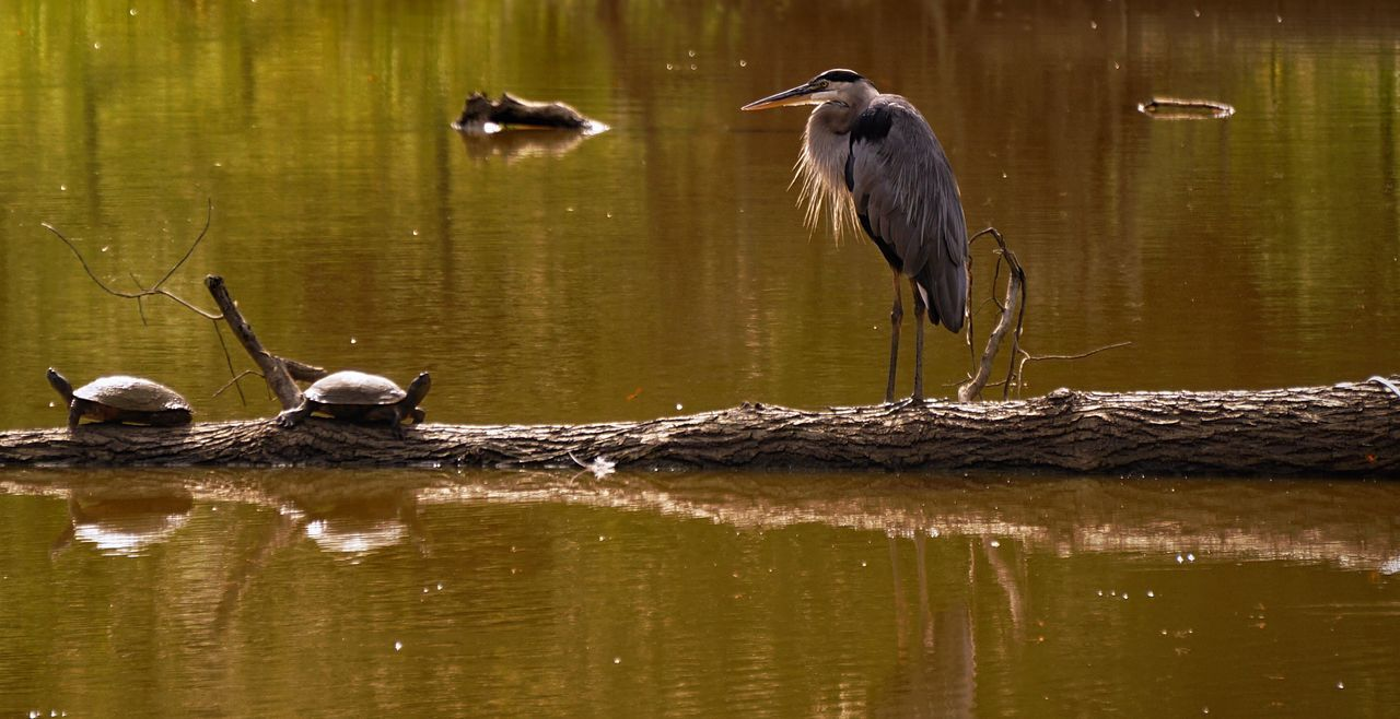 Shaggy scuffles EyeEm Birds EyeEm Nature Lover Nature Wildlife Heron Great Blue Heron Bird Turtles Bird Photography