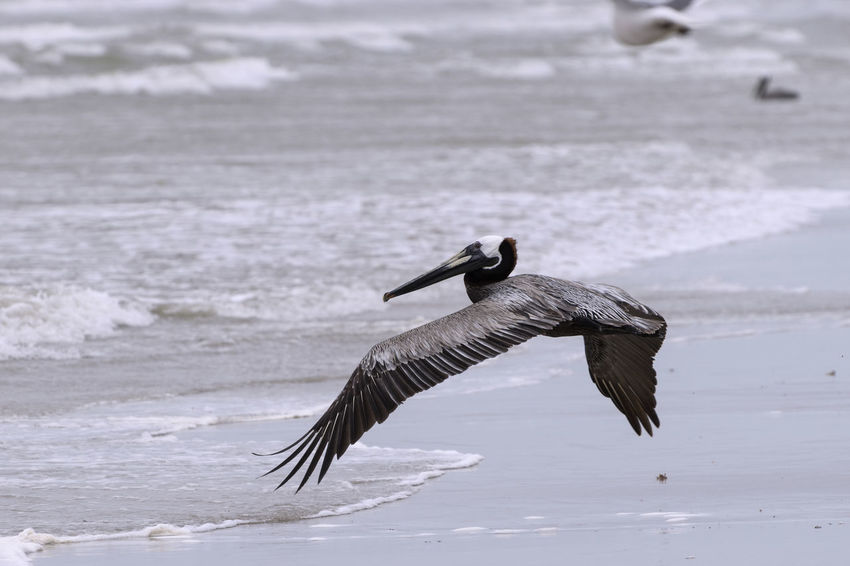 """A single Brown Pelican flying low over the beach on Padre Island near Corpus Christi, Texas with its long, curved neck making as """"s"""" keeping its head close to its body. Animals In The Wild Beach Bird Brown Brown Pelican Coast Feathers Flying Flying Low Graceful Island Nature Padre Island Pelican Sand Sea Seascape Shoreline Spread Wings Water Waves Wings"""