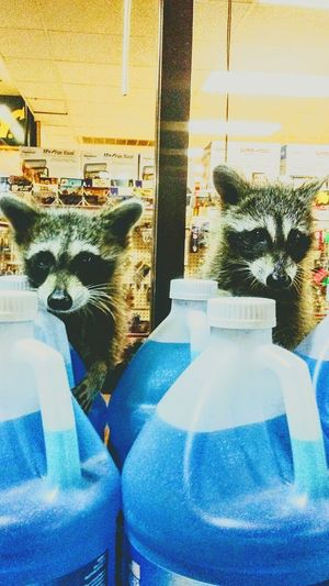 Funny Wildlife Country Close-up Animal Themes Mammal Racoons Trash Bandits wildlife in the city Amarillo, TX Furry Friends Love's Truck Stop Surprise Furry Curious Coon Hungry No People Western Pasture Equine City