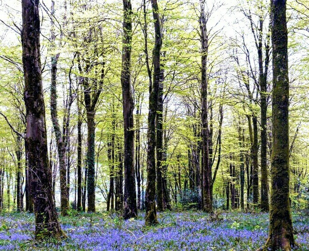 Bluebells at Lanhydrock Showcase May Femalephotographerofthemonth Ladyphotographerofthemonth The Great Outdoors With Adobe EyeEm Nature Lover Beauty In Nature Greenery Trees WoodLand Bluebell Wood Nature The Great Outdoors Cornwall Flowers Blue Flowers Spring Flowers The Essence Of Summer