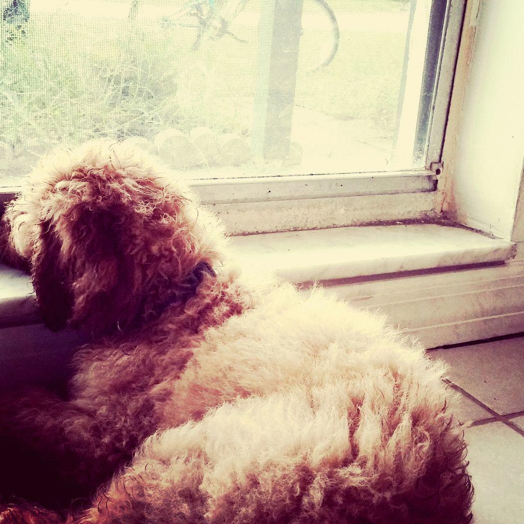 I Love My Dog Goldendoodle My Name Is Jax Lookingoutside Dogslife