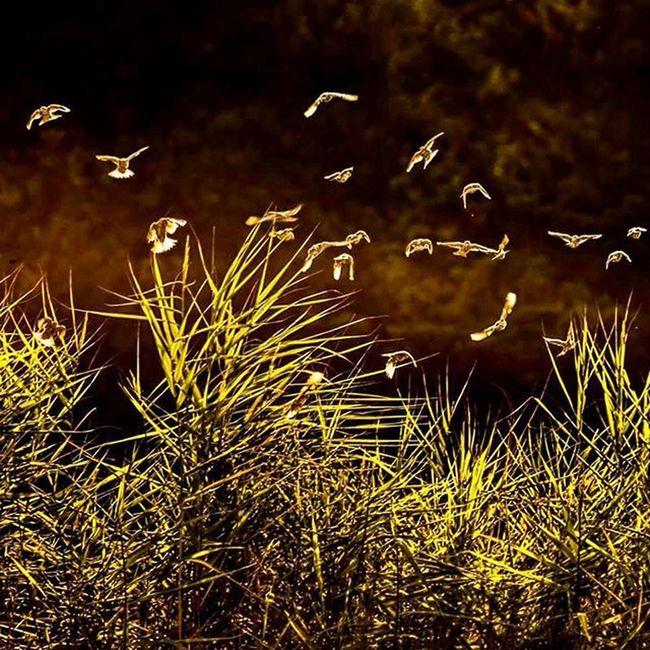 Serçeler dans ederken gün batımında o an cız etti yüreğim. Sebebini bilmedi ama yine de çektim. İsmail Balı © 2015. Ismailbalıphotography Landscape Sunlight Dance of Sparrow Sparrows Sunset Nature Light Yellow Serce Serçeler Gunun_karesi Instalike Instadaily Instagood Moment O_an Natgeo Natural Animal Instanimal @natgeo @natgeoexplorer @natgeotravel @thephotosociety @atlas_dergisi