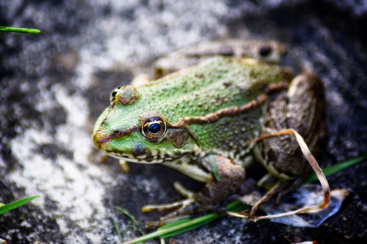 Beautiful stock photos of frosch, Amphibian, Animal Themes, Animal Wildlife, Animals In The Wild