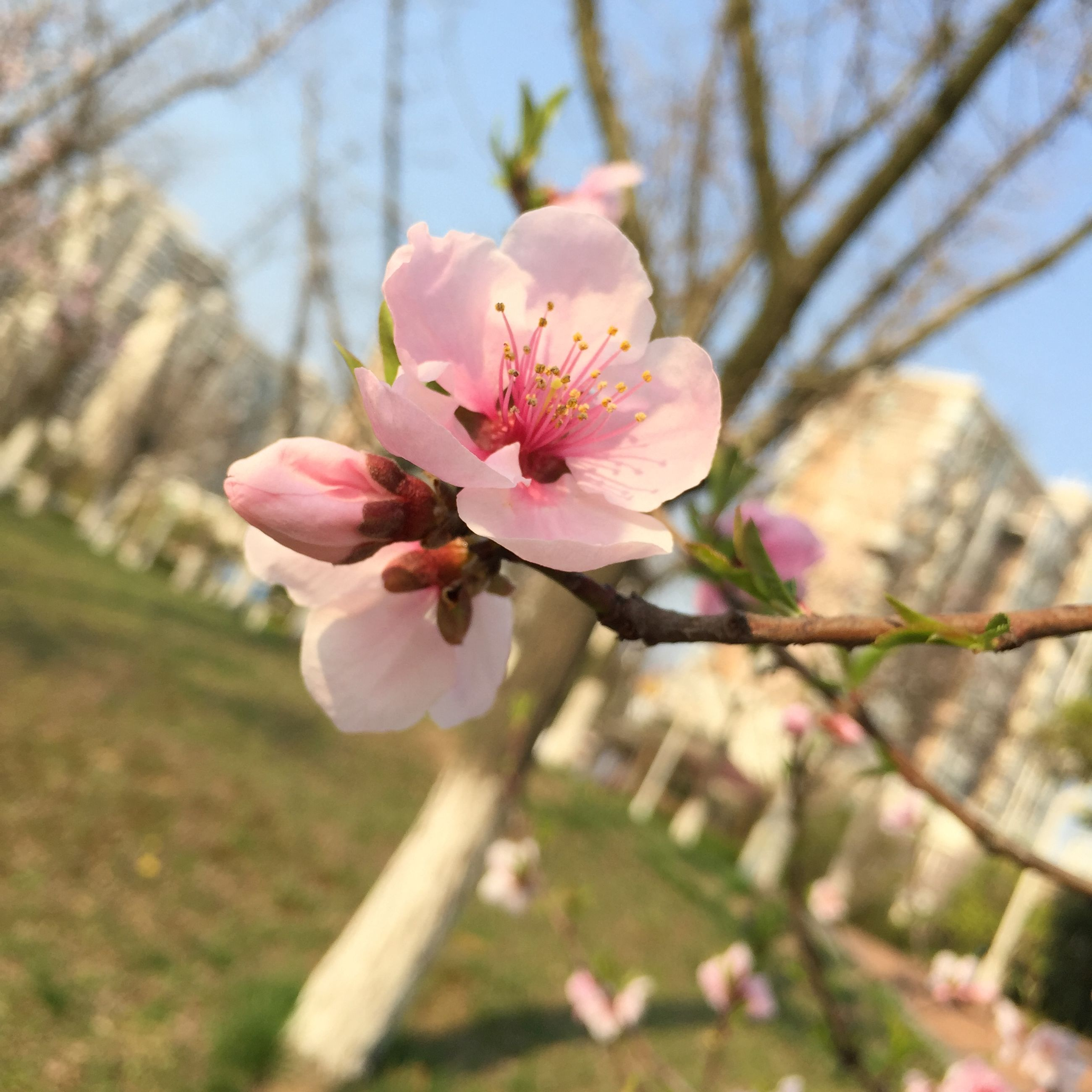 flower, freshness, fragility, petal, growth, pink color, focus on foreground, flower head, close-up, beauty in nature, branch, nature, blossom, blooming, in bloom, tree, springtime, stamen, day, botany