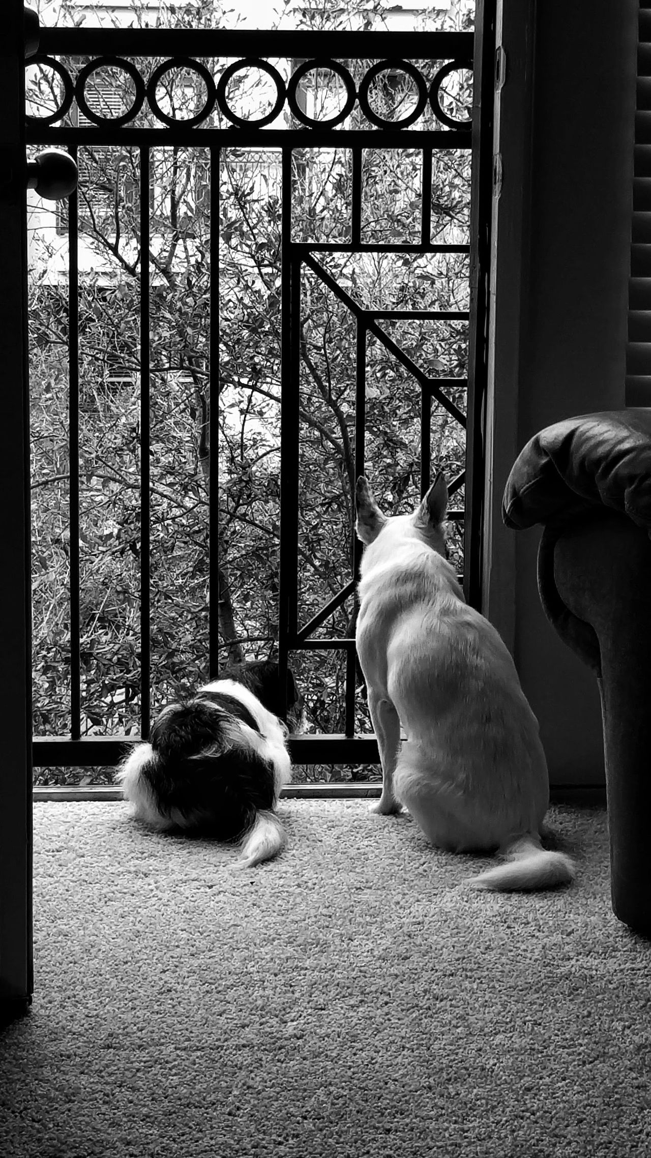 Window Animal Themes Domestic Animals No People Indoors  Pets Dogslife Dog Love Dogs Watching Black & White Blackandwhite Black And White Pet Love Dogs Life Pets Of Eyeem Dogphoto Doggy Love Puppy Love Mammal Day Two Dogs Two Pets Waiting Wallpaper
