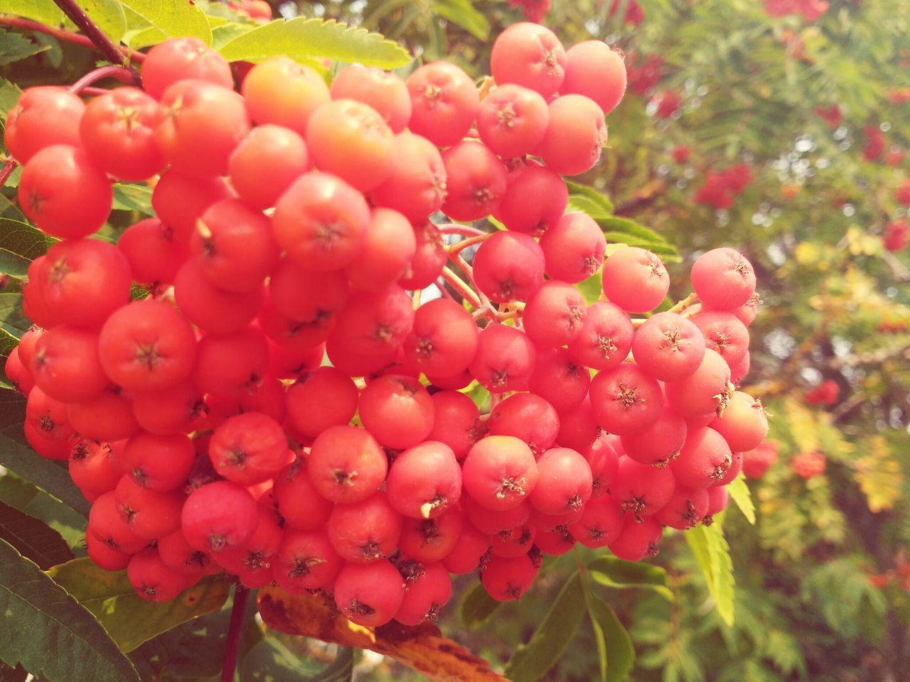 red, outdoors, growth, day, nature, no people, focus on foreground, beauty in nature, plant, close-up, tree, freshness, food