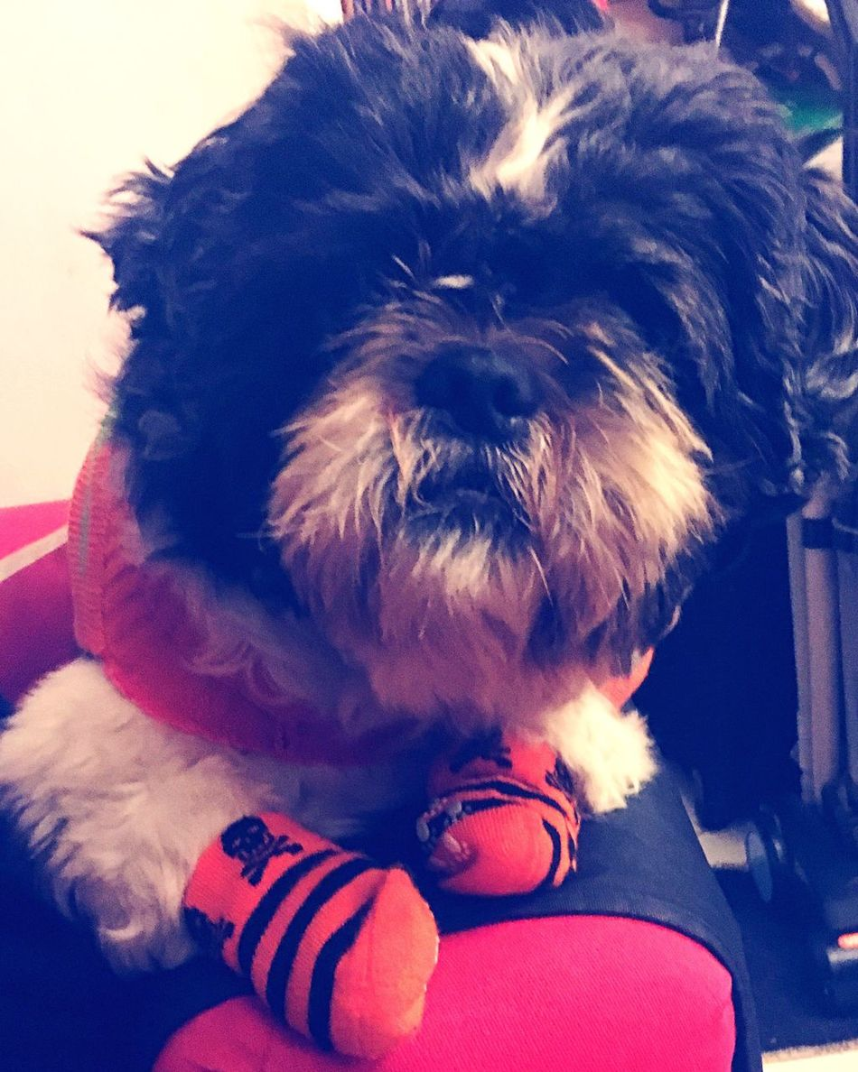 Domestic Animals Pets Dog Mammal Animal Themes One Animal Close-up Indoors  One Person Pet Clothing Day Focus Object Dogs Shih Tzu Halloween Photography Puppy Baby