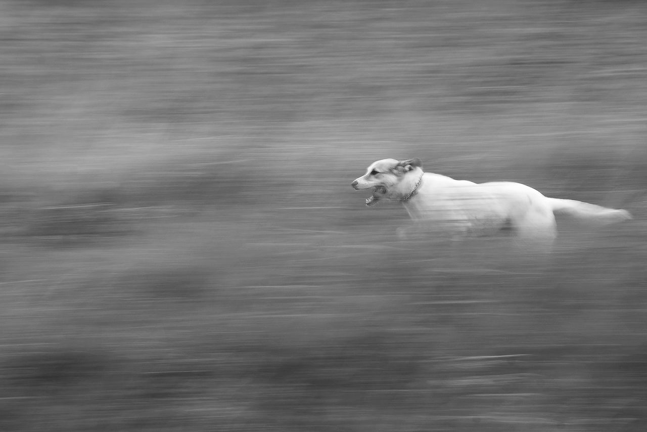 Dog is running happily across the medow. Animal Themes Balck And White Dog Domestic Animals EyeEmNewHere Happiness Happy Dog Monochrome No People One Animal Outdoors Pets Running Running Dog White Dog EyeEmNewHere