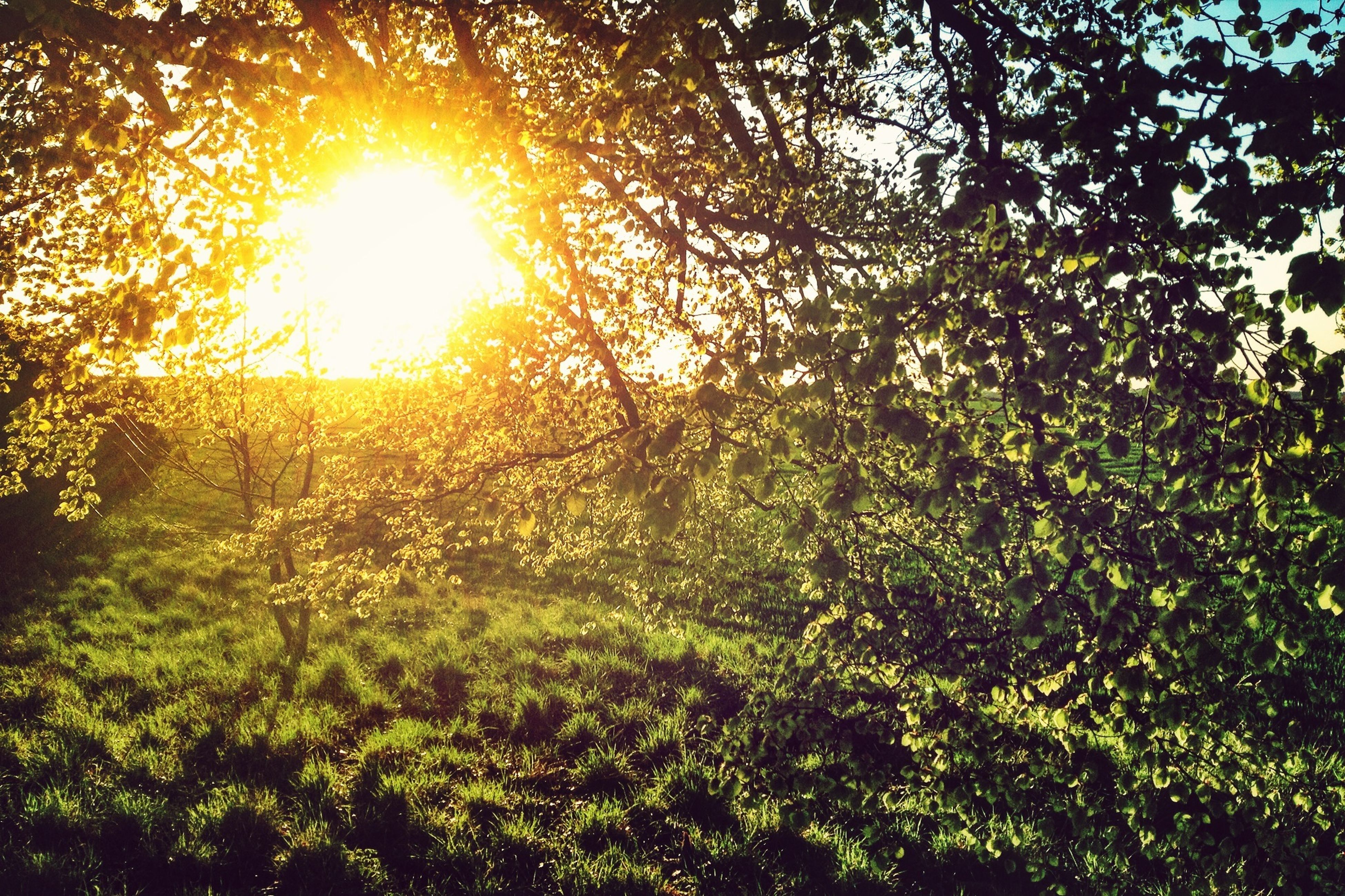 sun, tree, sunbeam, sunlight, growth, lens flare, tranquility, beauty in nature, nature, tranquil scene, scenics, green color, branch, sunny, field, forest, grass, bright, plant, idyllic