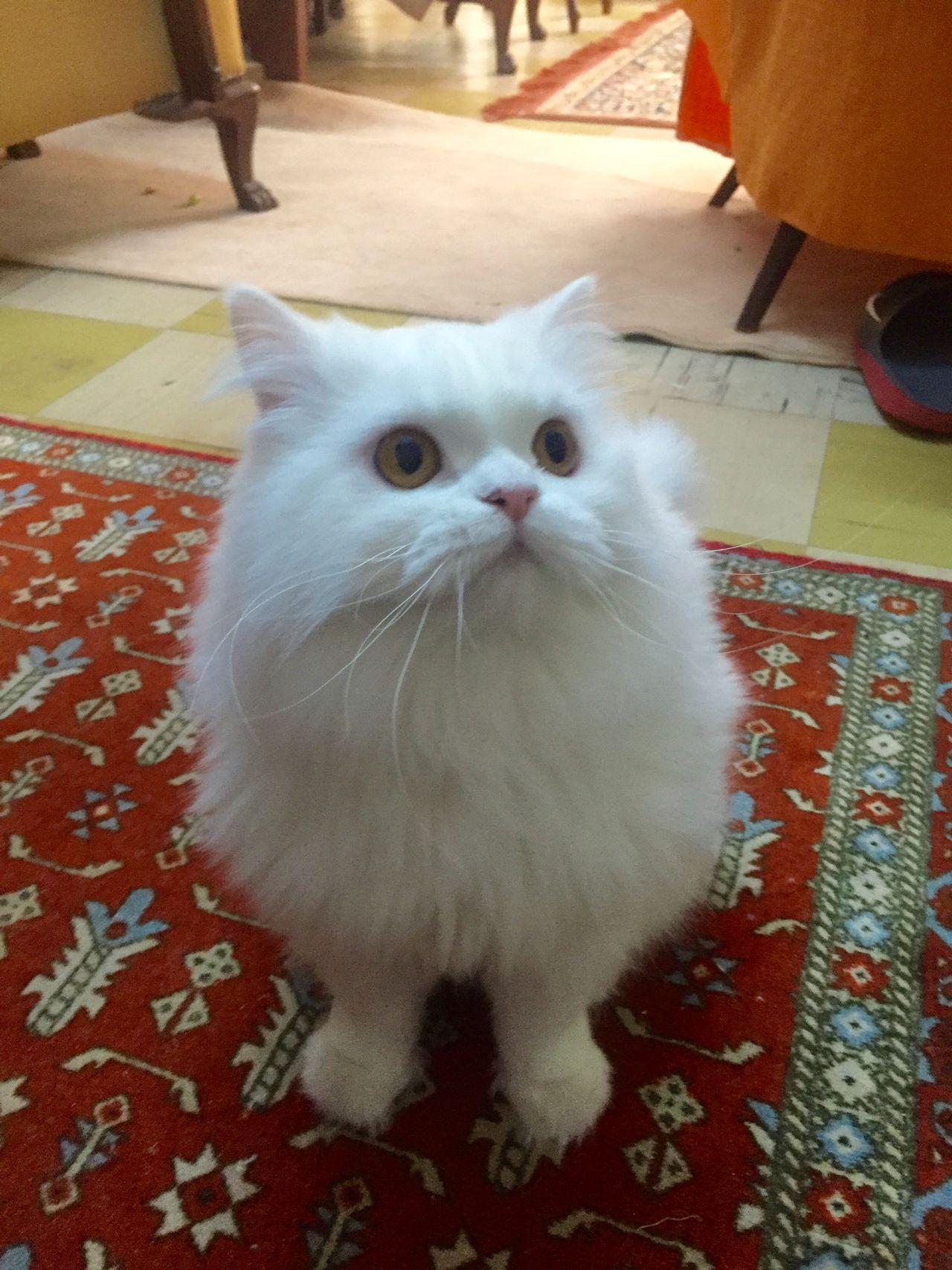 Check This Out Cat Kedi Ankarakedisi Ankaracat Whitecat Beyazkedi Maya Mayathecat