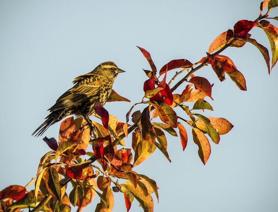 Female Red Winged Blackbird Michigan, USA Bird Photography Crosswinds Marsh Birds🐦⛅ Beauty In Nature Redwing Blackbird