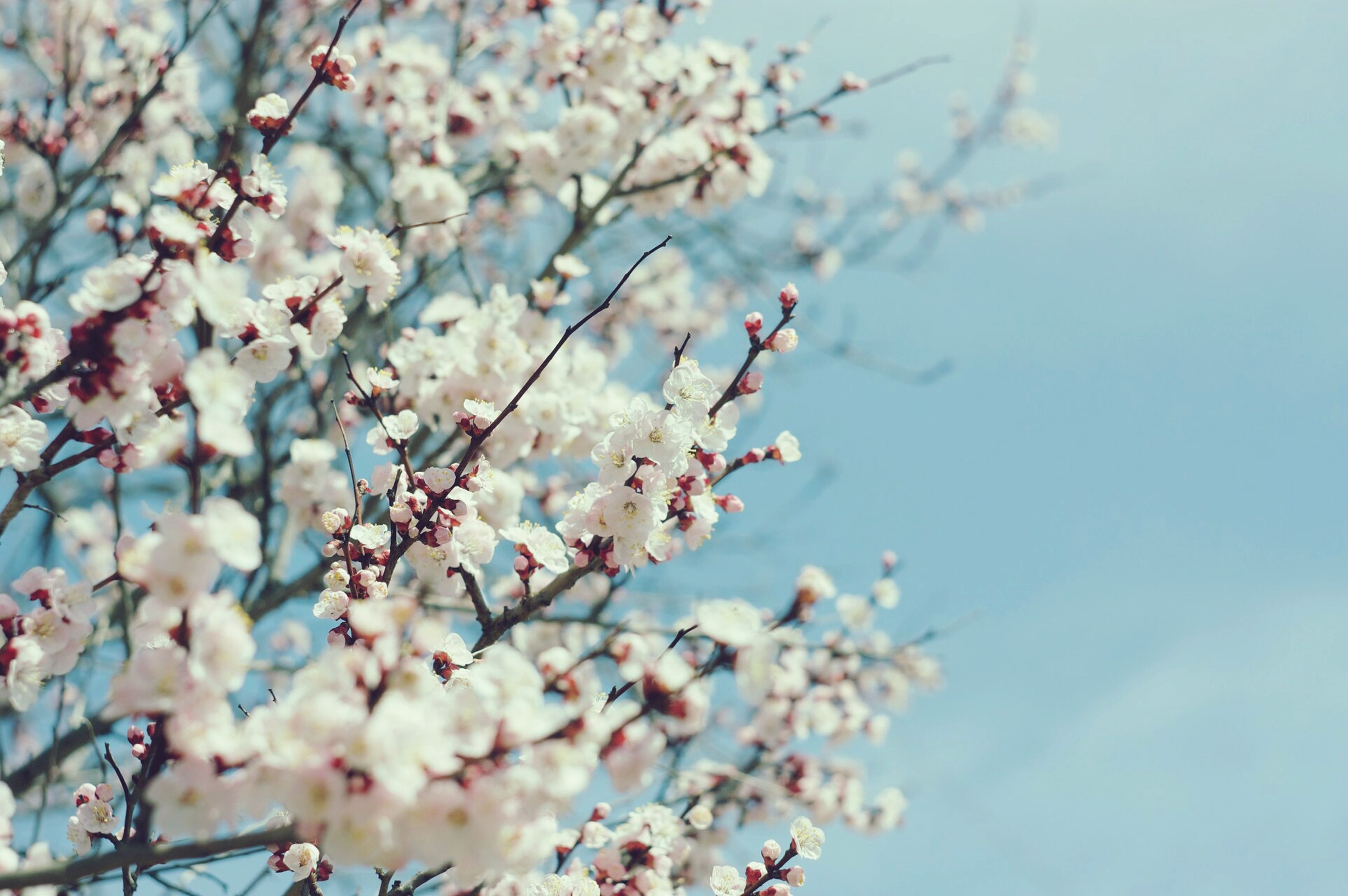 flower, freshness, branch, growth, tree, fragility, cherry blossom, beauty in nature, blossom, nature, cherry tree, low angle view, springtime, blooming, petal, in bloom, twig, focus on foreground, close-up, fruit tree