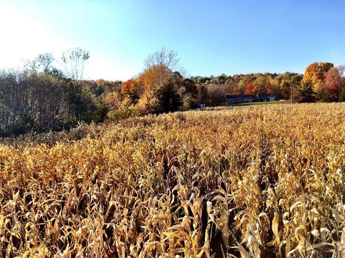 The corn maze. Ahhh