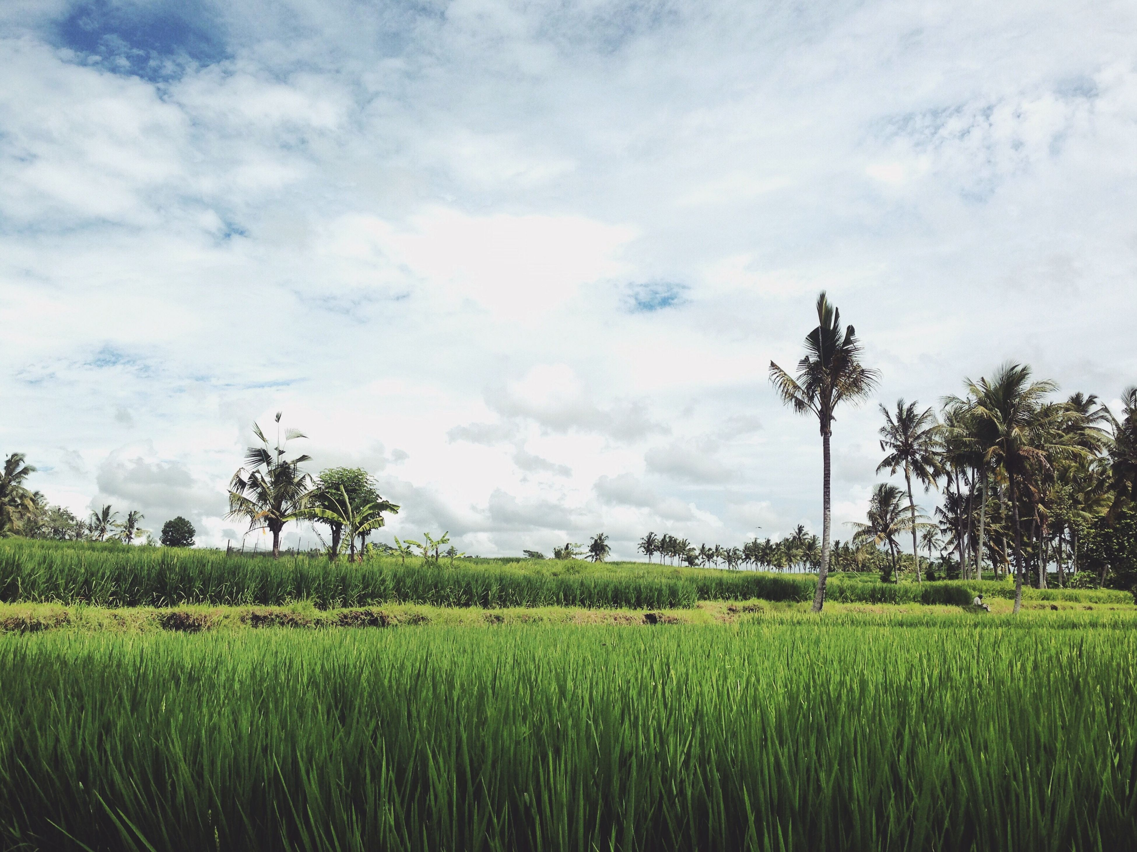 field, agriculture, growth, sky, rural scene, landscape, tranquility, tranquil scene, crop, tree, farm, nature, beauty in nature, scenics, cloud - sky, grass, cultivated land, palm tree, green color, cloud