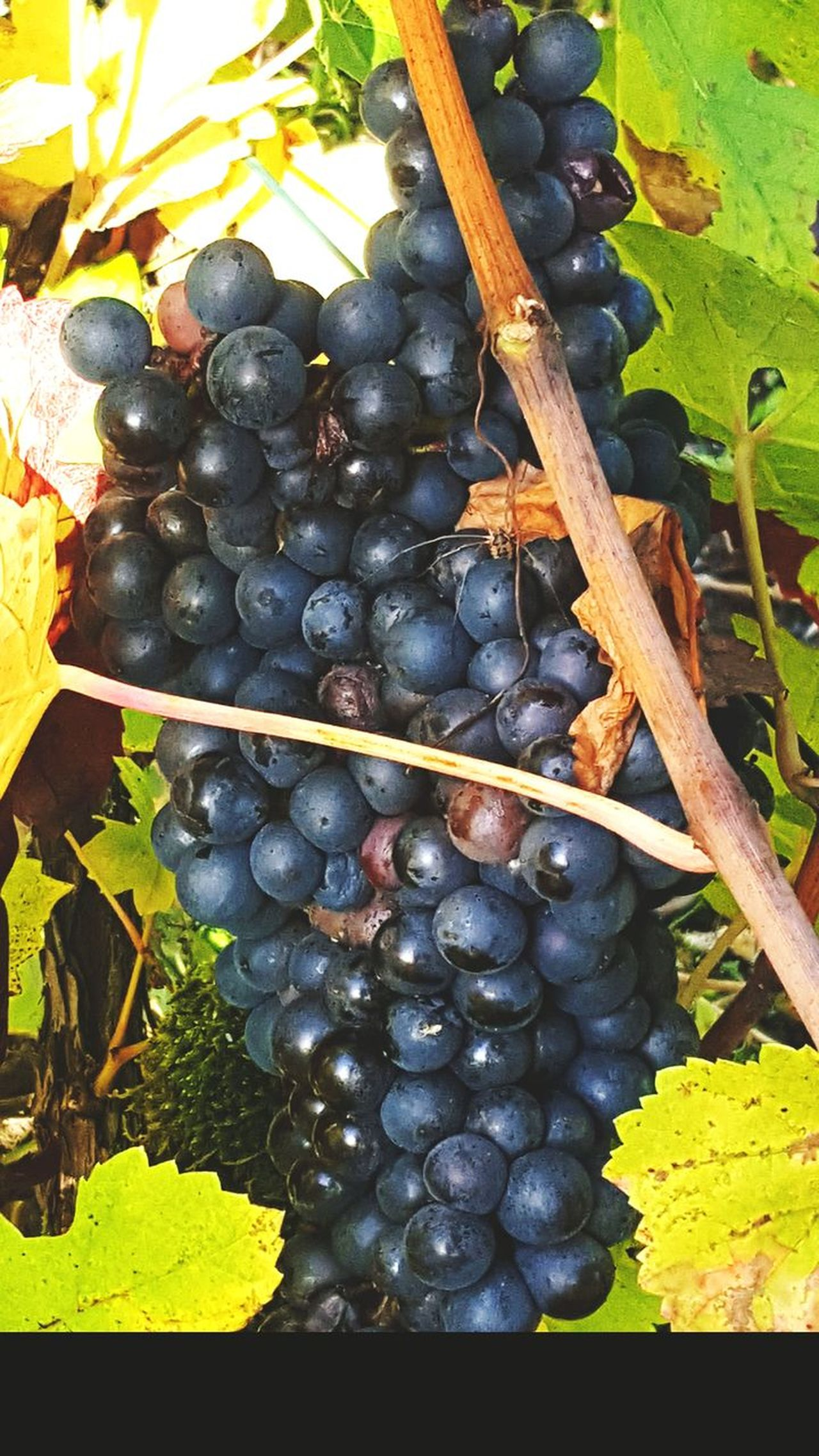 Grapes Vineyard Blackgrapes Food Weintrauben Wein Fruits Fruit Weinberg Weinberge Tasty Tasty😋 Taste Good Champagne Day No People Leaf Fruit Outdoors Healthy Eating Close-up Freshness Nature Growth