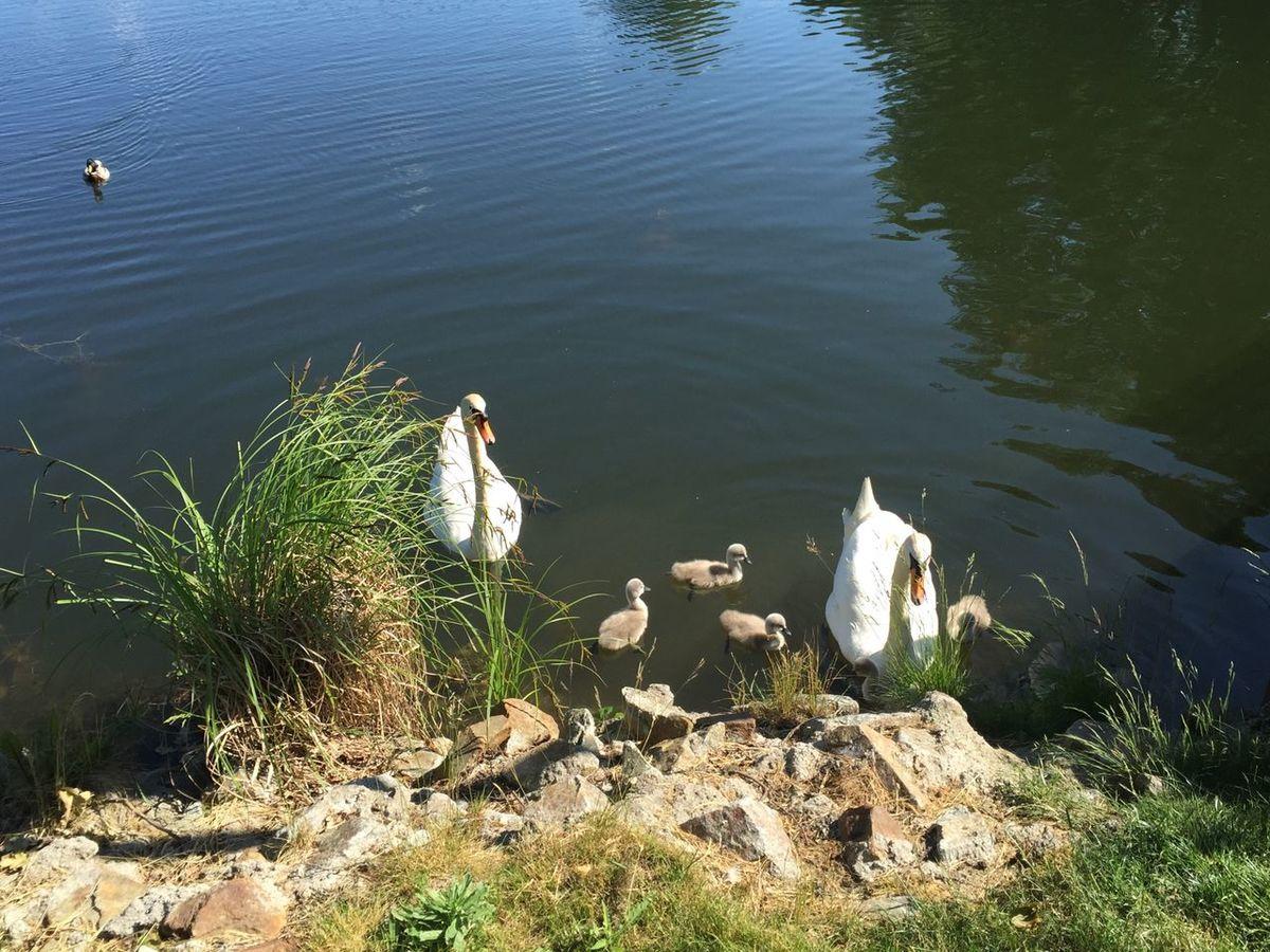 Swan Babyswan Water Sea Pure Nature