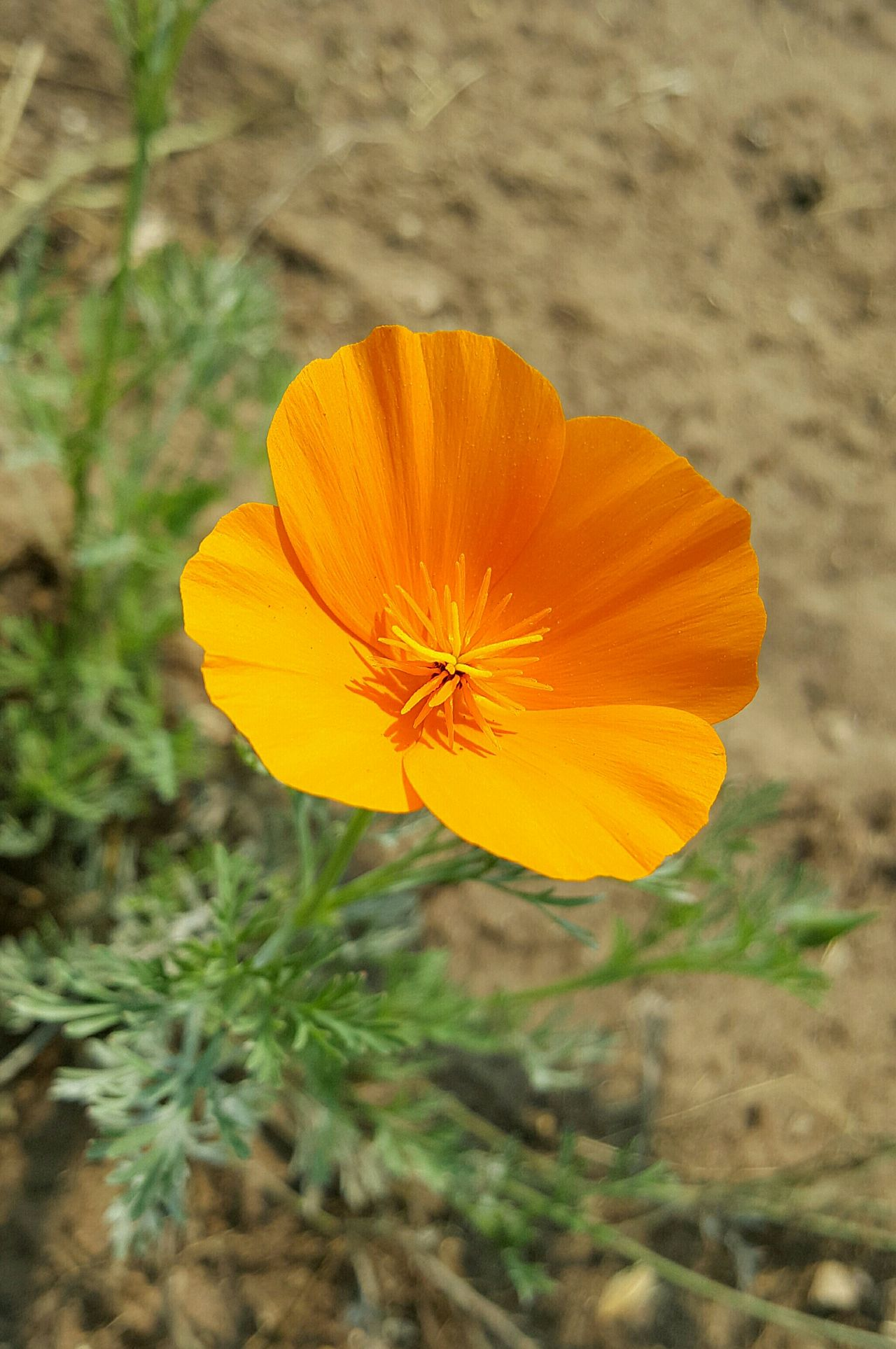 Something About The Color What Will I Find Next It Caught My Eye Central Coast, CA Orange Flower California Poppy Eye Em Learning From Nature