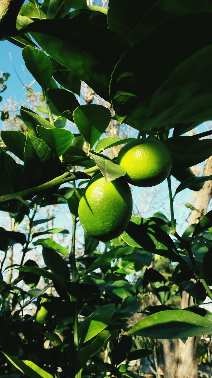 tree, leaf, fruit, citrus fruit, lemon, growth, lemon tree, food and drink, low angle view, freshness, green color, branch, no people, outdoors, day, healthy eating, nature, hanging, orange tree, food, close-up, beauty in nature