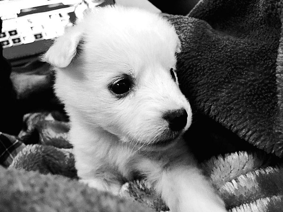 Dog Puppy Cute Close-up Portrait No People Black And White Indoors  Love ♥ Dog Love EyeEm Gallery