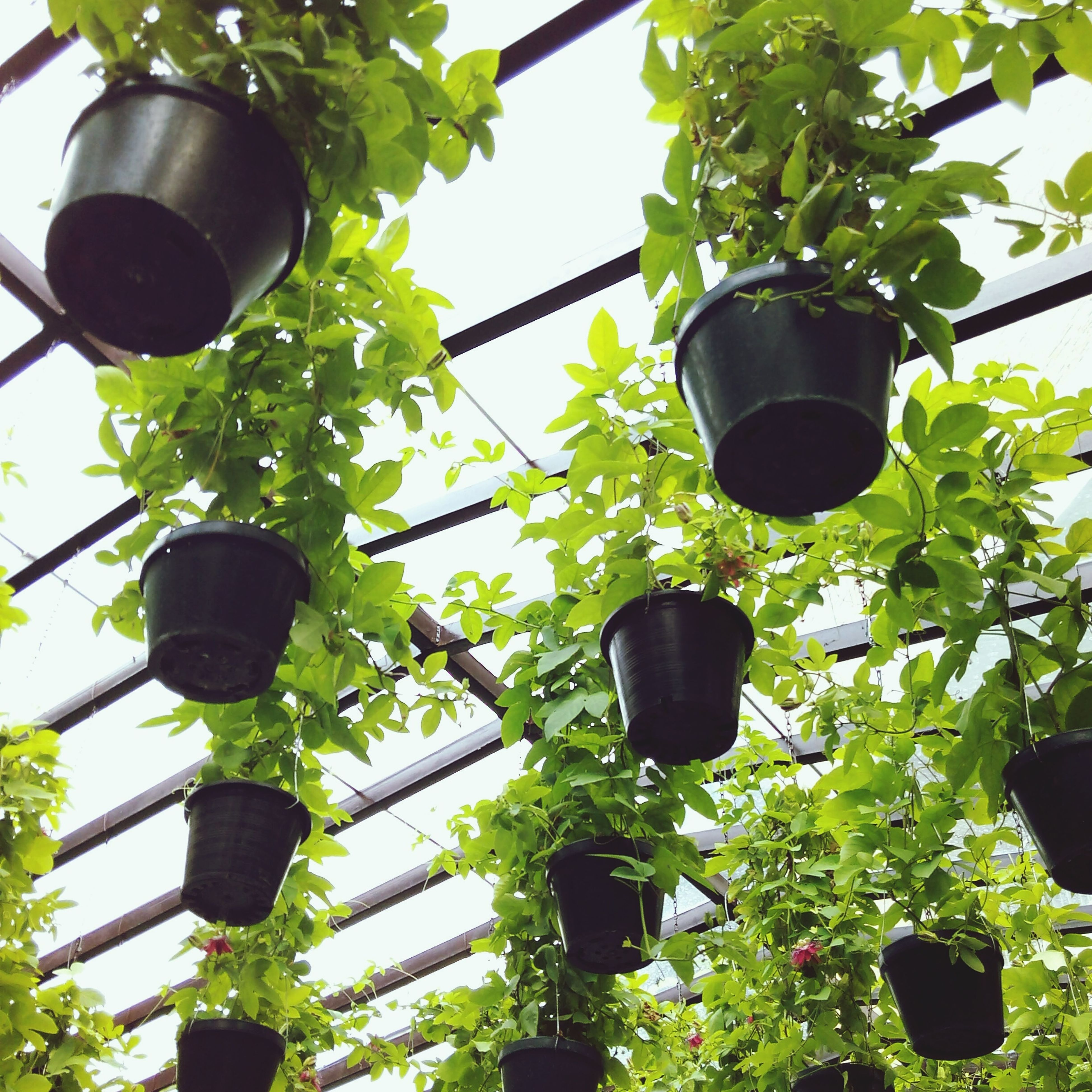low angle view, tree, growth, leaf, hanging, lighting equipment, plant, green color, street light, lantern, electricity, day, outdoors, potted plant, nature, branch, metal, built structure, no people, close-up
