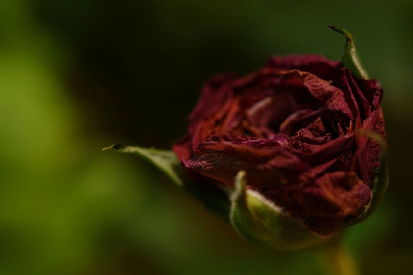 Capture The Moment Dried Flowers Rose🌹 Flower Nature Beauty In Nature Fragility Flower Head Close-up Fine Art Macro Uzuki Of The Flower Depth Of Field Still Life Darkness And Light Full Frame Detail Oldlens ROKKOR EyeEm Best Shots 17_02